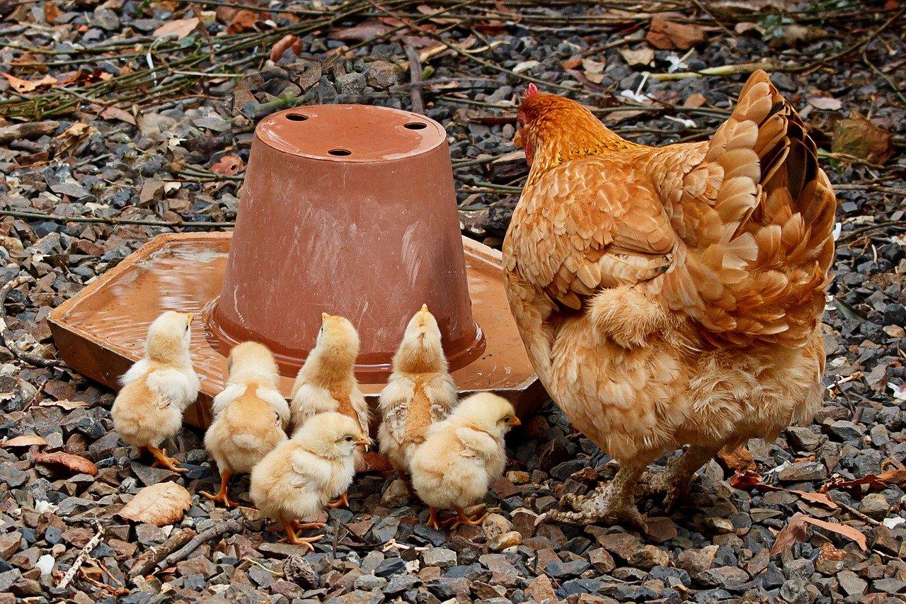 Żywienie zwierząt hodowlanych. Jaką śrutę sojową wybrać?
